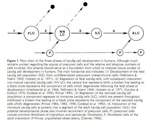 Leydig cell development flowchart